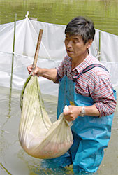carrying out Nishikigoi from Noike